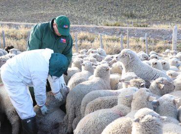 Productores retoman exportación ovina en pie a Argentina