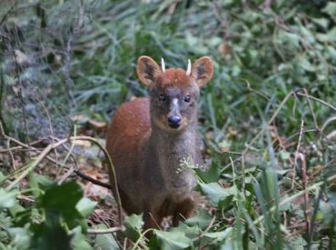 4 pudúes volvieron al medio natural en Valdivia y Lago Ranco