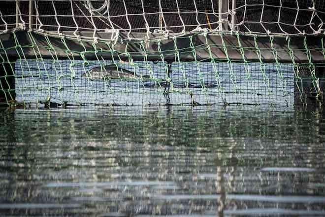Masiva fuga de salmones en Los Lagos: escape de Blumar puede superar el millón de salmones