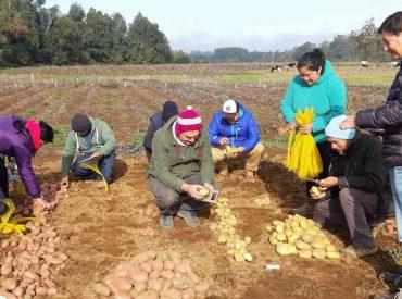 Productores de papas orgánicas de La Araucanía visitan INIA Remehue