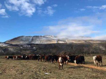 SAG realiza aclaración sobre importación de bovinos de reproducción desde Argentina