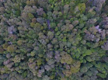 Bosques de Chile: los árboles de Tinquilco podrán verse en nuevo sitio web