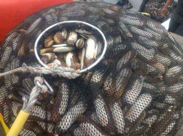 Decomisan 800 kilos de navajuela extraídos de banco natural sin acreditación de origen: recursos son sustento de cerca de mil buzos mariscadores