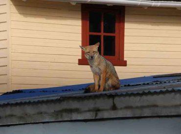 Exitoso operativo permitió recuperar a zorro culpeo desde el techo de una vivienda en Río Bueno