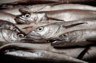 WWF Chile pide una #LargaVeda para la merluza común