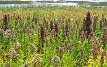 Quínoa y papas nativas de Chile: investigación rescata cultivos ancestrales
