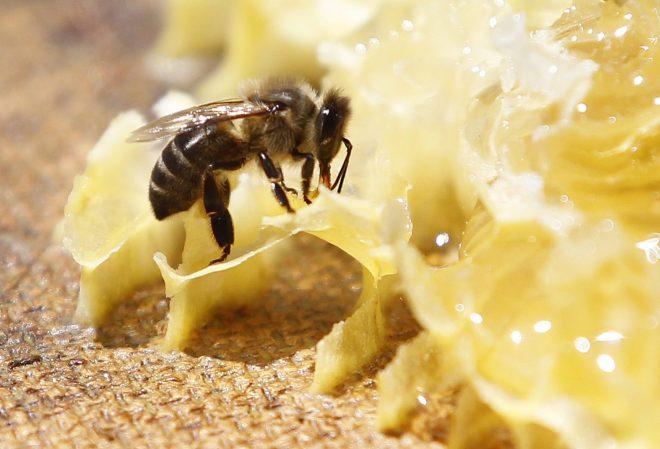 ¿Hay otras abejas en Chile, además de la abeja de miel?