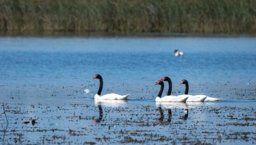 Se estudiaron 152 cisnes de cuello negro del humedal del Río Cruces y se confirmó una dieta trófica en base a 6 plantas acuáticas