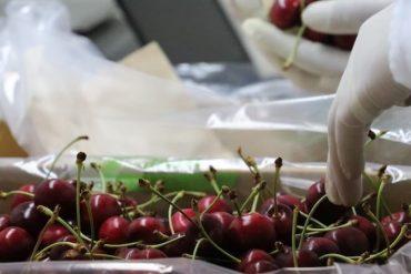 SAG da inicio a certificación en origen a exportaciones de cerezas con destino a Inglaterra y China.