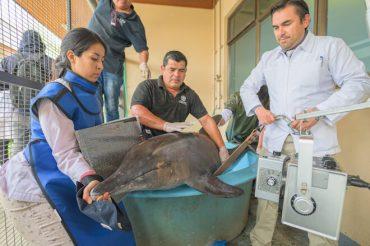 Delfín de aguas tropicales varado en Concepción será devuelto a su hábitat