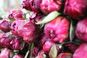 Con éxito finalizó exportación de peonías desde Aysén a Holanda