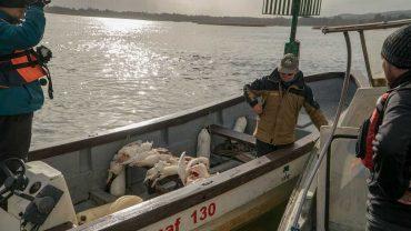 Continúan los ataques de lobos marinos a cisnes de cuello negro en Valdivia