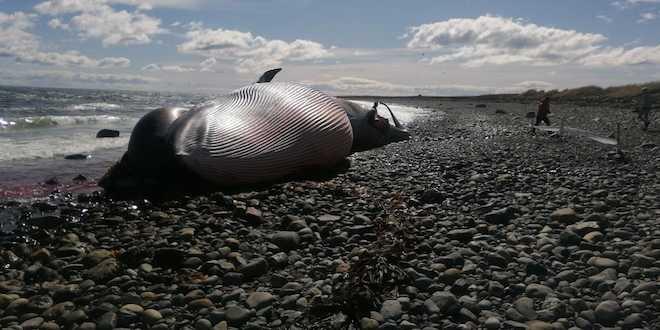 Hallazgo de ballena con posible arpón en Magallanes alerta sobre caza furtiva de cetáceos en el país