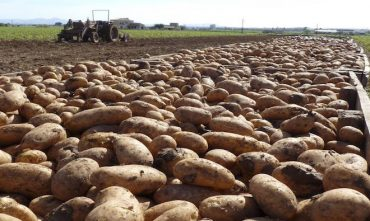 Municipalidad de Paillaco comprará producción de papas de la Asociación de Agricultores Prodesal