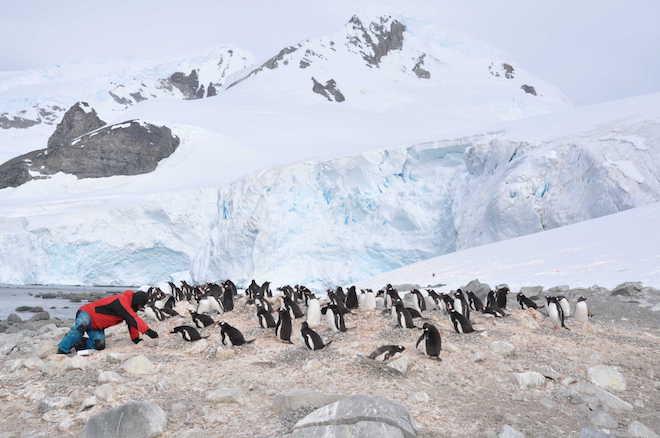 Revelan que pingüinos antárticos actúan como reservorio de virus sin síntomas asociados