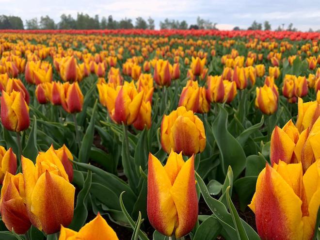 Comienza exportación de bulbos de tulipanes en la provincia de Osorno
