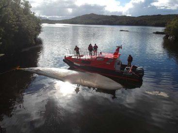 Bidema y Fiscalía Aysén investigan deceso de ballena en centro de cultivo