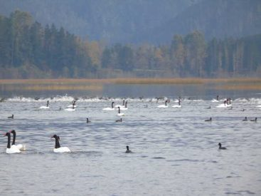 Nuevo aumento: 22.319 cisnes de cuello negro fueron censados en Santuario de la Naturaleza