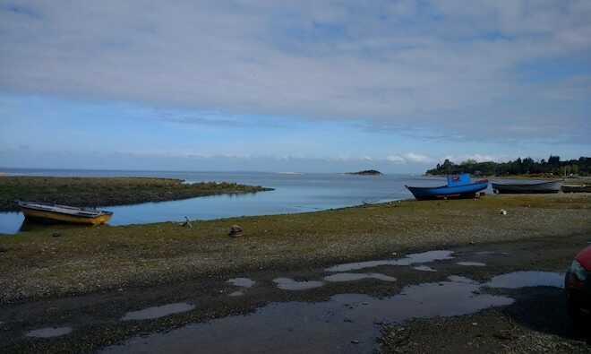 Salicornia, novedoso alimento costero que se transforma en alternativa comercial para los pescadores de Bahía Lenca
