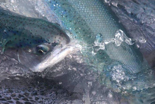 CIICA evaluó fuga de salmones de la empresa Blumar en Chile: suman más de 100.000