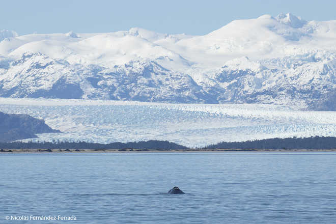 Importante avistamiento de ballena franca austral y crías en el Parque Nacional Laguna San Rafael