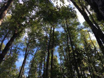 El cambio climático estaría afectando el crecimiento de los bosques de roble en Chile