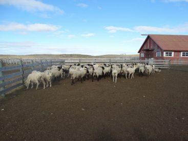 Esquila preparto en Magallanes: la técnica que ha conseguido mejorar la producción de los rebaños ovinos