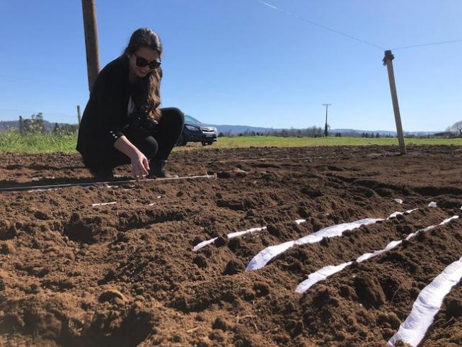 Estudian termotolerancia del trigo en el sur de Chile para mejorar cultivos a consecuencia del cambio climático