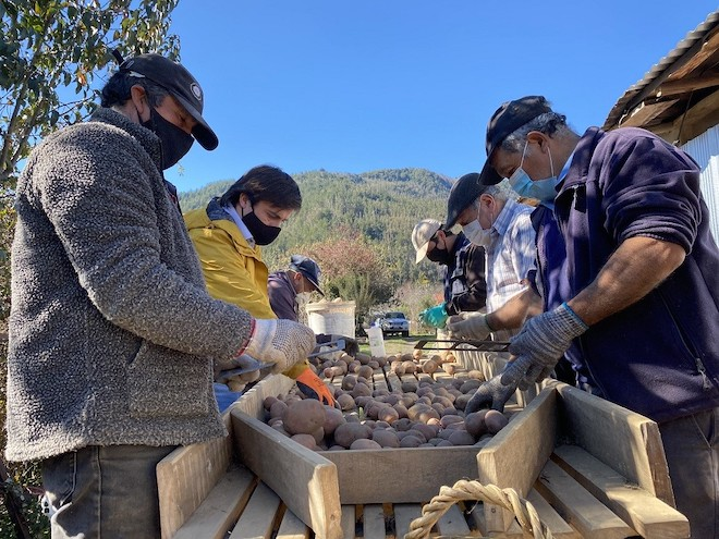 Agricultores de provincia de Arauco cuadriplican sus ingresos al comercializar semillas de papa certificadas