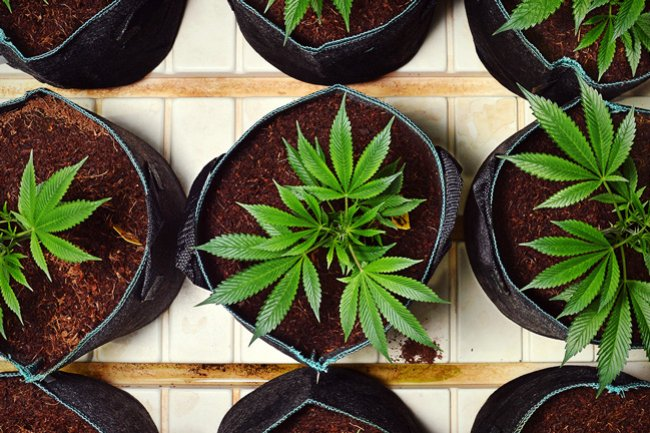 Discusión legislativa sobre el derecho de cultivo de cannabis en Chile: ¿política de Estado regulatoria o restrictiva?
