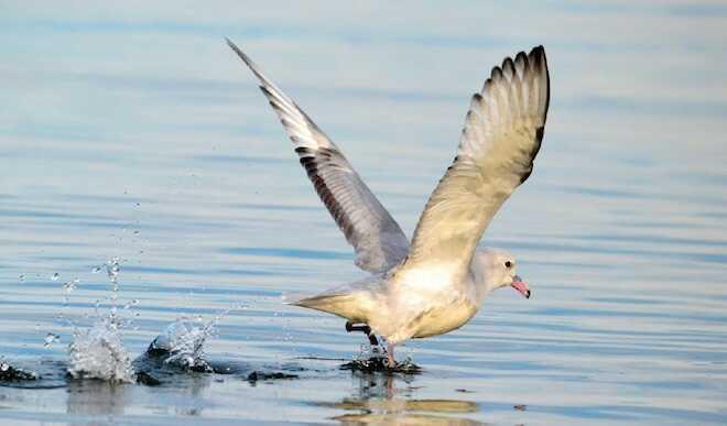 Depredadores tope y el riesgo de las pesquerías industriales en los océanos del sur del mundo