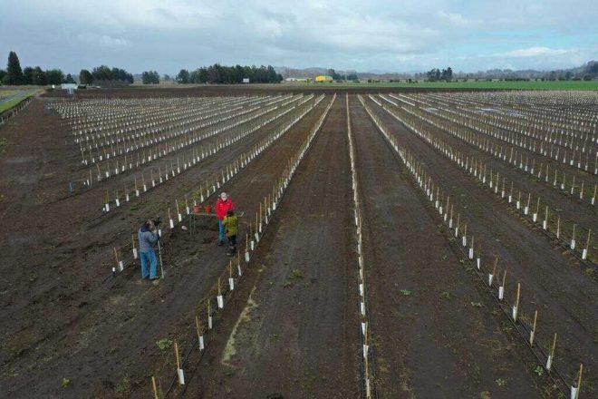 Cambio climático permite inédita producción comercial de almendros en latitudes extremas de Chile