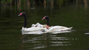 Científicos UACh aclaran que no hay evidencia de muertes de cisnes por causas distintas a ataques de otras especies y muerte natural