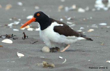 Llaman a transitar con precaución por playas y dunas por temporada de reproducción del pilpilén en las costas de Chile