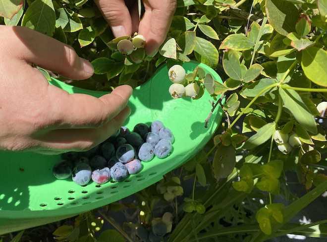 Diseñador chileno desarrolla herramienta para la cosecha manual de arándanos y prevención del contagio covid-19
