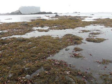 Macroalgas del intermareal antártico: ¿podrían prevalecer ante futuros aumentos de la temperatura asociados a cambio climático?
