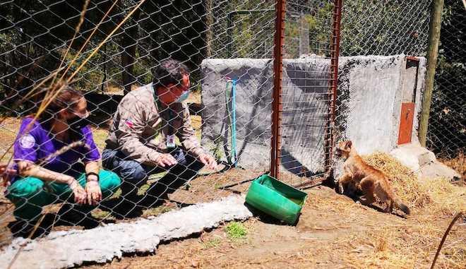 Bioparque Quillón recibe a dos pumas en tenencia definitiva