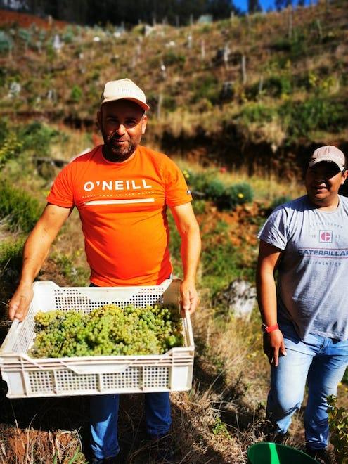 Agricultor de Contulmo innova con proyecto vitivinícola y realiza su primera vendimia