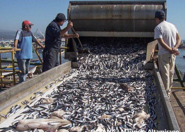 Oceana publica estudio que analiza riesgos de actividad ilegal en el manejo industrial de sardina y anchoveta en la Región del Biobío