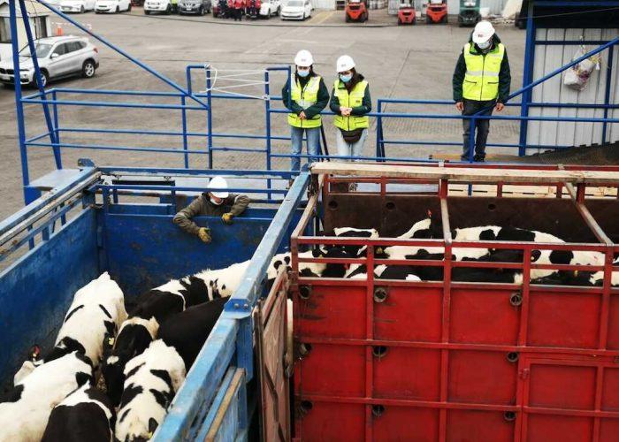 SAG Biobío certifica nuevo embarque de vaquillas en pie a China